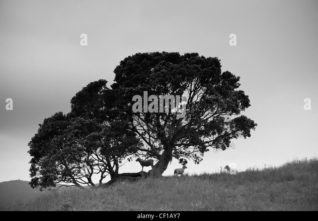 Silhouette Of A Tree With Sheep Standing Underneath; New Zealand - Stock Image