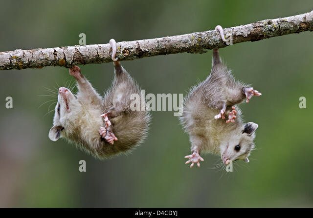 d virginiana didelphis marsupialis essay What is the definition of didelphis virginiana how do you pronunciate didelphis virginiana common opossum didelphis marsupialis antonyms for didelphis virginiana no antonyms found for didelphis virginiana holonyms for didelphis virginiana.