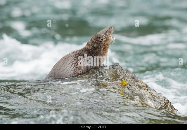 Marine Otter (Lontra felina) Chiloe Island, Chile ENDANGERED - Stock Image