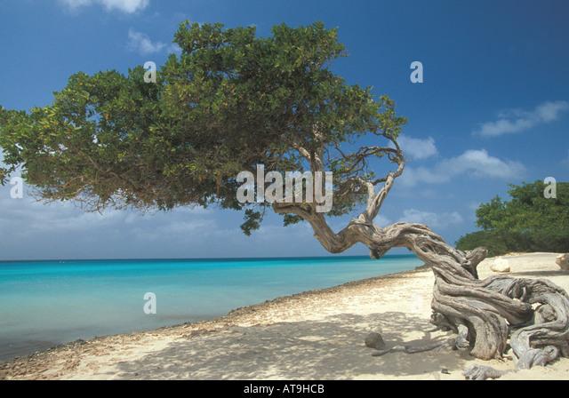 divi divi tree aruba national symbol - Stock Image