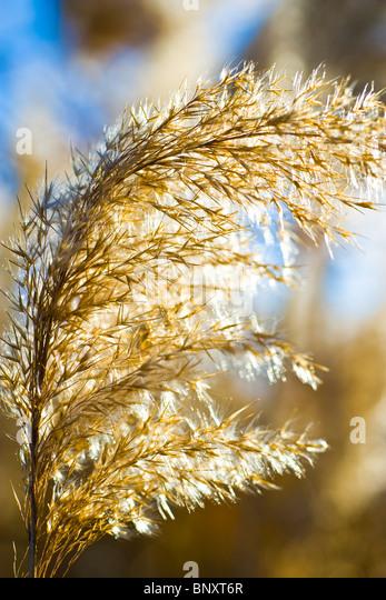 Seedheads on dried reeds - Stock Image