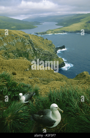 Auckland shy albatross mollymawk white capped albatross Two on nests South West Cape Auckland Islands Adams Island - Stock Image
