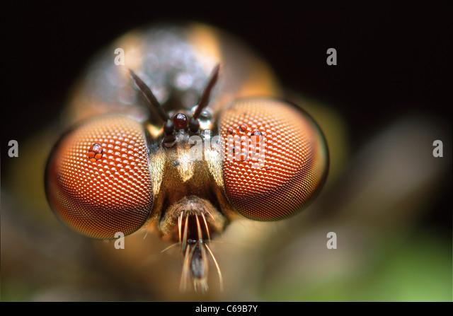 Robber Fly, Holcocephala fusca - Stock Image