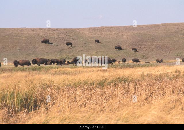 Animal American bison buffalo farm - Stock Image