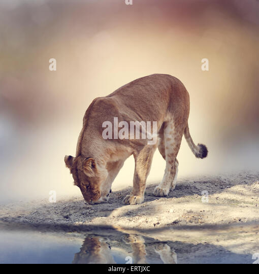 Female Lion Near A Pond - Stock Image