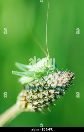 Speckled Bush Cricket nymph perched atop bare thistle - Stock Image