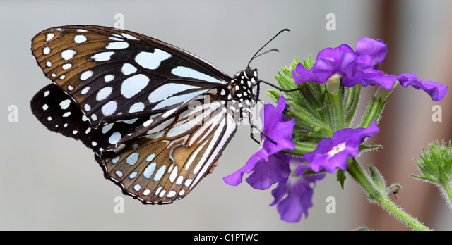 Beautiful Black and White butterfly feeding on nectar of large purple flower - Stock Image