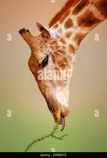 Close-up of a Giraffe eating a thorn bush - Kgalagadi Transfrontier Park (South Africa) - Stock-Bilder