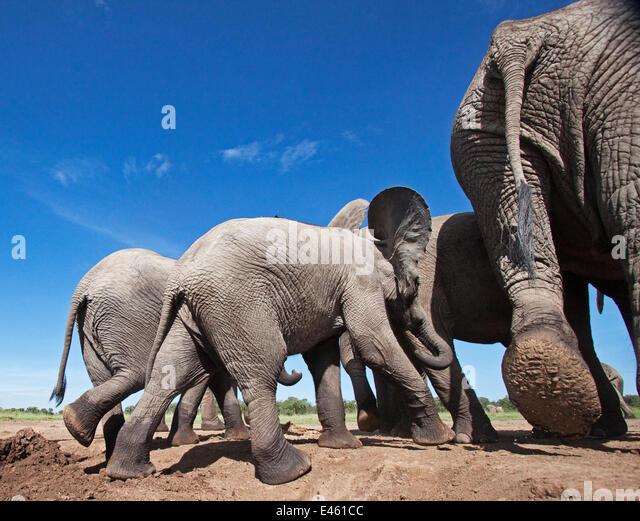 African elephant (Loxodonta africana) group leaving a waterhole - wide angle perspective. Masai Mara National Reserve, - Stock-Bilder