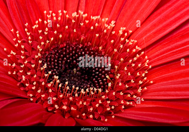 Red Gerbera daisy - Stock Image