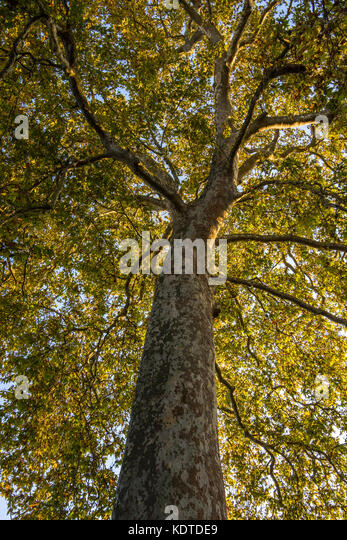 Tall Plane tree (Platanus) in public garden - La Rochelle, France. - Stock Image