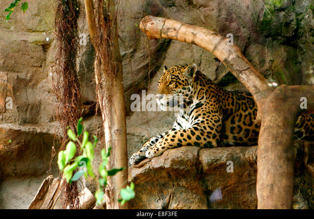 Jaguar, Loro Parque, Tenerife, Canary Islands, 2007. - Stock Image