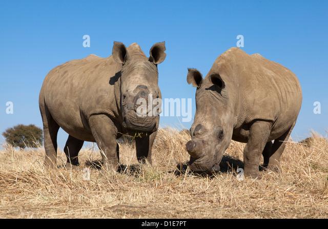 Dehorned white rhinos (Ceratotherium simum) on rhino farm, Klerksdorp, North West Province, South Africa, Africa - Stock Image
