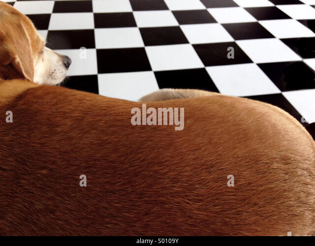 Terrier-Chihuahua mix dog admires our new black and white tile garage floor - Stock Image