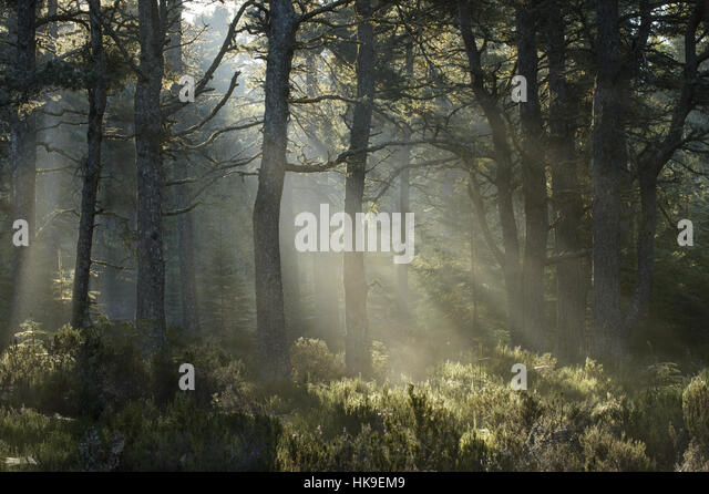 Scots pine forest (Pinus sylvestris). Black Isle, Scotland. October 2015. - Stock-Bilder