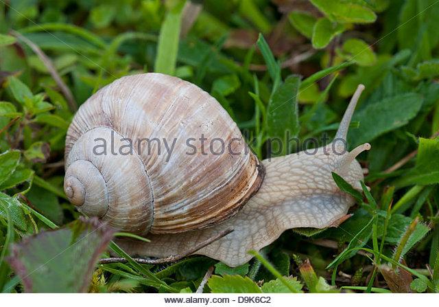 Roman Snail Helix pomatia wild native June meadow field edible Sheepleas Surrey England white chalk grassland - Stock Image