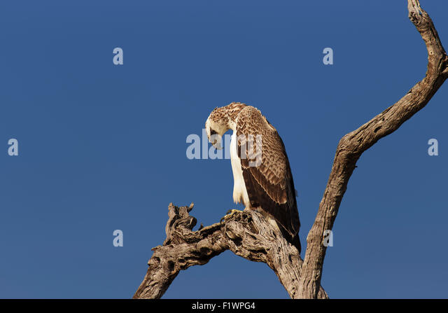 Immature Martial Eagle  (Polemaetus bellicosus) perched on branch against  blue sky - Kruger National Park (South - Stock Image