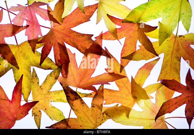 multi coloured colored liquidambar leaves in autumn arranged on a white background - Stock Image