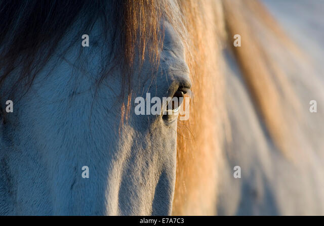 Lusitano horse, gelding, white horse, Andalusia, Spain - Stock Image