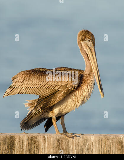 Juvenile Brown Pelican (Pelecanus occidentalis) stretching its wings - Stock Image