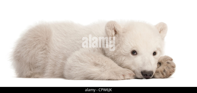 Polar bear cub,  Ursus maritimus, 3 months old, portrait against white background - Stock Image