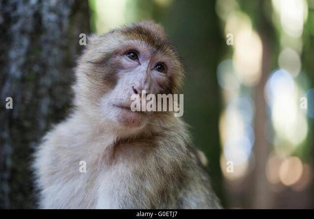 Barbary ape - Stock Image