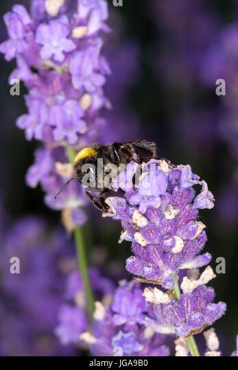 Bumblebee (Bombus) on lavender (Lavandula) - Macro shot - Stock Image