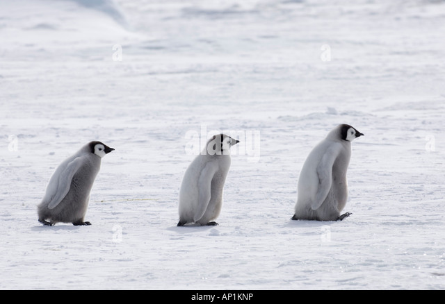 Emperor Penguin Aptenodytes fosteri chicks travelling across sea ice of Weddell Sea near Snow Hill Island Antarctica - Stock Image