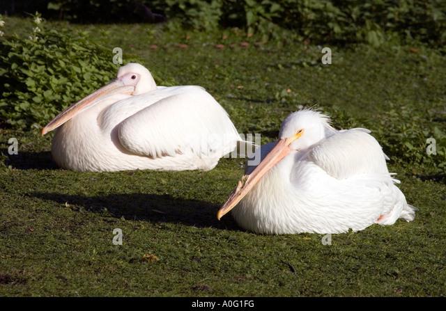 European White Pelicans ( Pelecanus onocrotalus ) - Stock Image