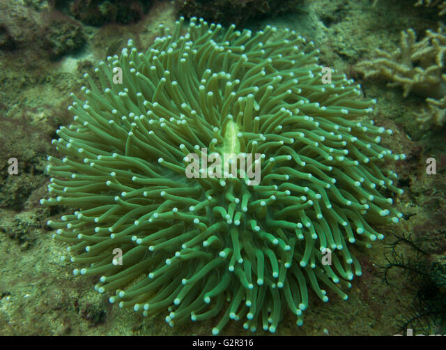 Mushroom coral, Heliofungia actiniformis, from the South China Sea, Coral Triangle, Brunei. - Stock Image