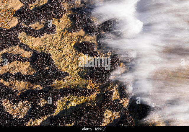 Brachidontes mussel colonies growing on the intertidal zone at Ilhabela, SP, Brazil - Stock Image