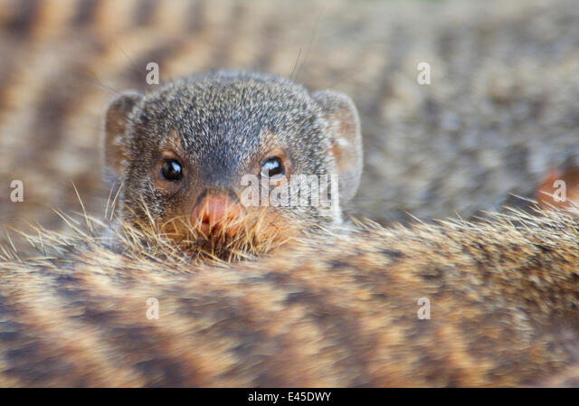 Banded mongoose (Mungos mungo) looking over the back of another, Queen Elizabeth National Park, Uganda - Stock Image