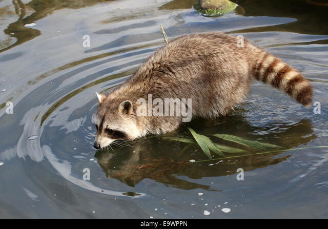 North American or  northern raccoon ( Procyon lotor) walking through the water - Stock Image