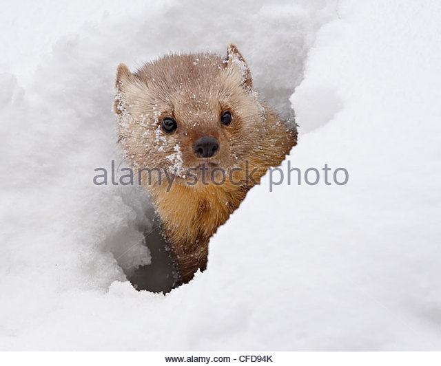 Captive fisher (Martes pennanti) in snow, near Bozeman, Montana, United States of America, - Stock-Bilder
