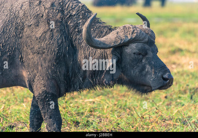 Botswana. Chobe National Park. Old male Cape Buffalo (Syncerus caffer) on the shore of the Chobe river. - Stock Image