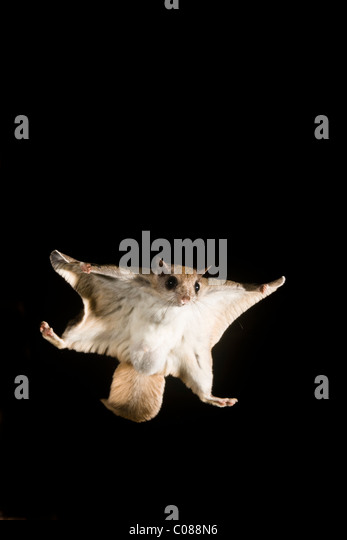 Southern Flying squirrel gliding at night - Stock Image