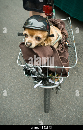 small chihuahua w helmet riding in bicycle wire basket - Stock-Bilder