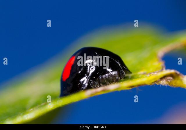 Kidney-spot Ladybird (Chilocorus renipustulatus) adult beetle on a sallow leaf. Powys, Wales. September. - Stock Image