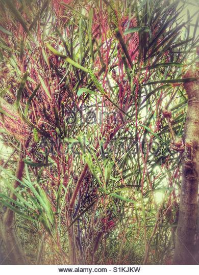 a closeup of a grevillea 'Red Hooks' (Australian native trees) - Stock Image