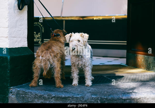 Two dogs on a lead waiting for the owner outside a shop - Stock-Bilder