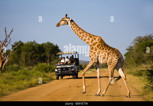 Giraffe (Giraffa camelopardalis) crossing a road in front of a safari vehicle. Madikwe Game Reserve - Stock-Bilder