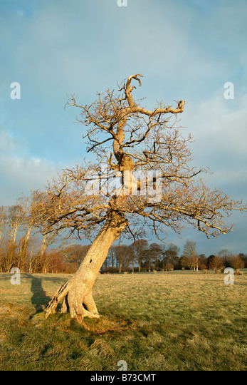 an old leafless oak tree in the english countryside - Stock Image