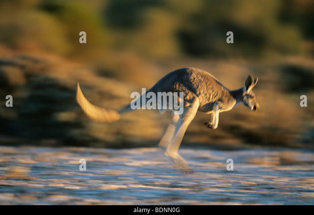 Kangaroo bouncing through desert - Stock Image