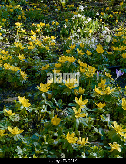 Yellow winter aconite in January sunshine - Stock Image