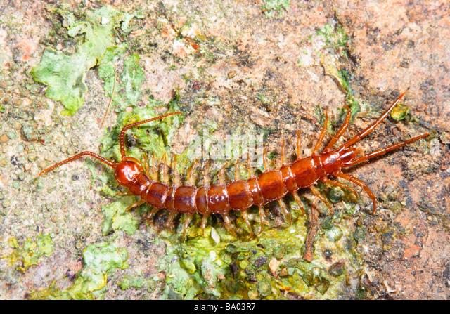 Centipedes Arthropod Stock Photos & Centipedes Arthropod ...