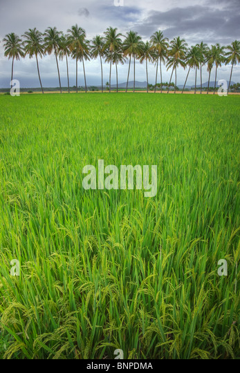 Rice field with coconuts in background. Theni Tamil Nadu, southern India - Stock-Bilder