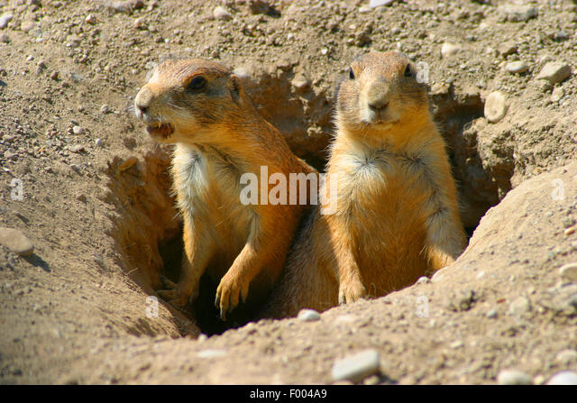 black-tailed prairie dog, Plains prairie dog (Cynomys ludovicianus), sit in the den and watching out - Stock Image