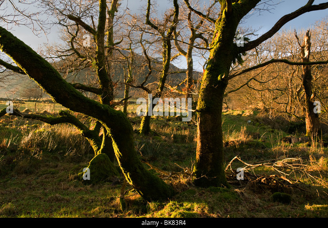 Moel Hebog mountains through trees, near Beddgelert, Snowdonia, North Wales, UK - Stock Image