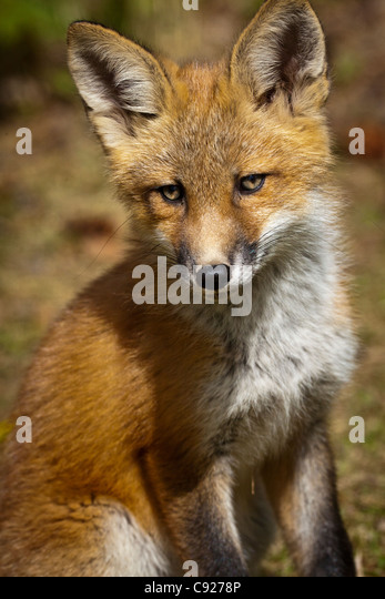 Portrait of a Red fox kit near its den on the Anchorage Hillside in Summer, Southcentral Alaska - Stock Image