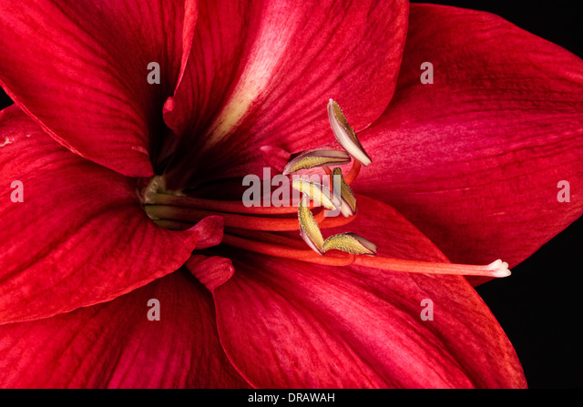 Red Amaryllis Blossom - Stock Image